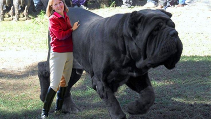 15 Biggest Dogs In The World Monster Dogs Worlds