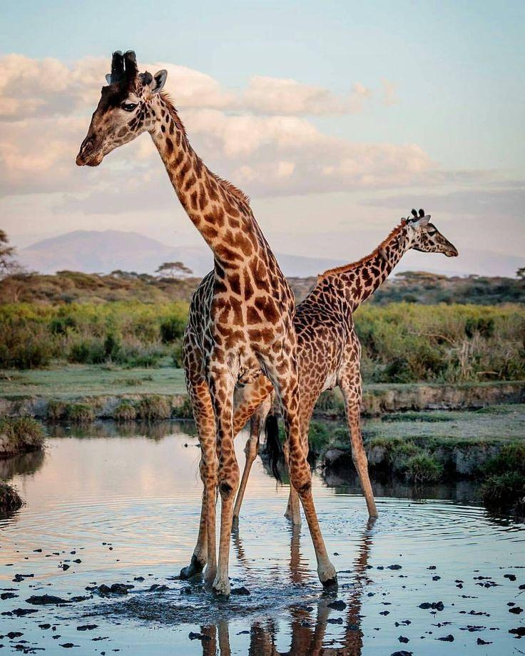 #Repost a la #wildographydudette Bobby-Jo Clow /@duma_safaris · · · Giraffes in Ndutu, Serengeti, Tanzania … #Wildography #WildographyandSafaris #AfricanSafaris