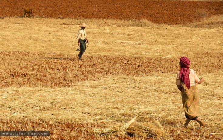 El blat de moro és l'or de l'agroindústria al sud-est asiàtic. El blat és important per a la subsistència de les famílies camperoles a la zona muntanyosa de l'est de Myanmar, però també ho és per satisfer la demanda d'una creixent població amb més habitants urbans.