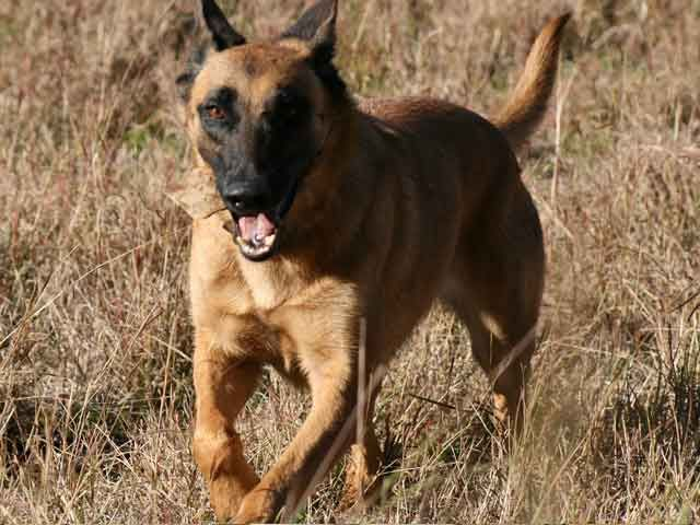 Belgian Malinois Photos | Belgian Malinois Breeders | Find a Local Belgian Malinois Dog Breeder ...
