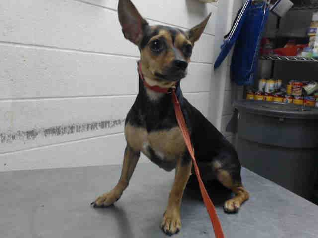 This DOG - ID#A467594 - URGENT - Harris County Animal Shelter in Houston, Texas - ADOPT OR FOSTER - Female Chihuahua Mix - at the shelter since Sep 08, 2016.
