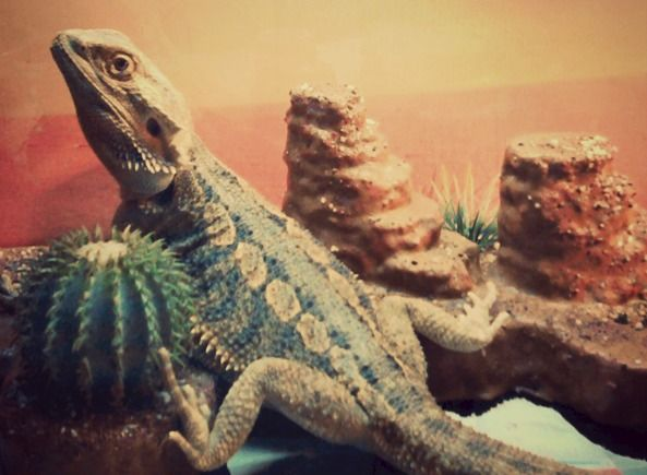 Bearded Dragon - German Giant/Pogona Vitticeps - my Kinky - just chilling