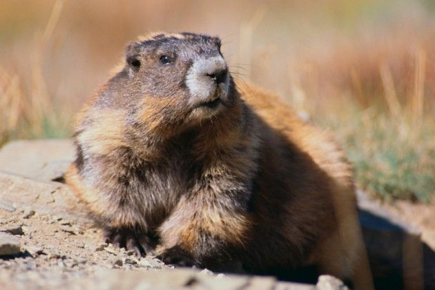 49 Best Woodchuck Reference Images On Pinterest