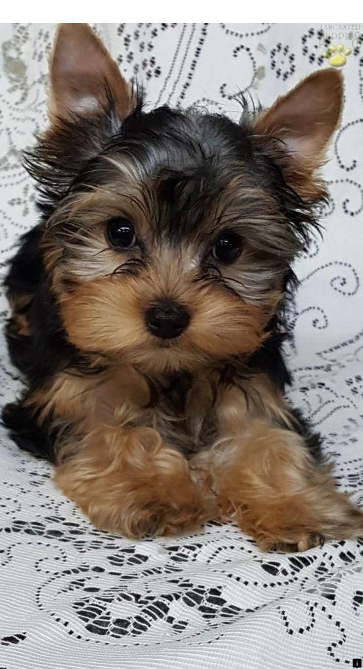 14 Wonderful Popular Pet Lap Dog Yorkshire Terrier Ideas Yorkshire Terrier Puppies Yorkshire Terrier Dog Yorkie Puppy