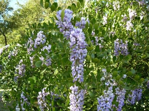 Landscape Bushes With Odor : Best images about drought tolerant tx plants on