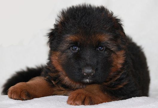 German Shepherd Dog Breeder German Shepherd Puppy for Sale