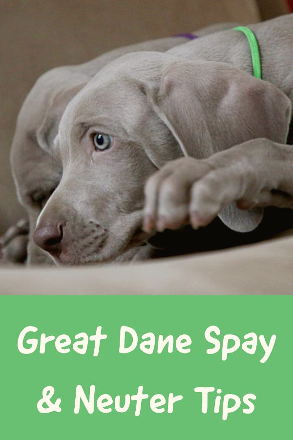 Great Dane Spay Neuter A Helpful Guide For Owners With Images