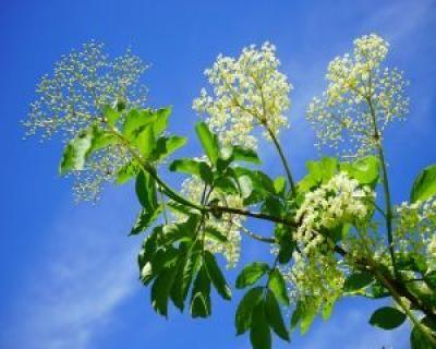Ce probleme de sanatate poti trata cu flori de soc