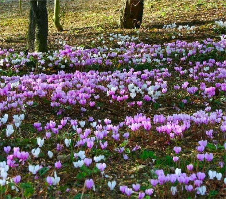 Hardy Cyclamen Coum (eastern Sowbread) 5-8cm, typically groundcover. Flowers in late winter/early spring.