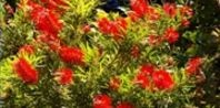 Weeping Bottlebrush Tree - I want one for my yard!