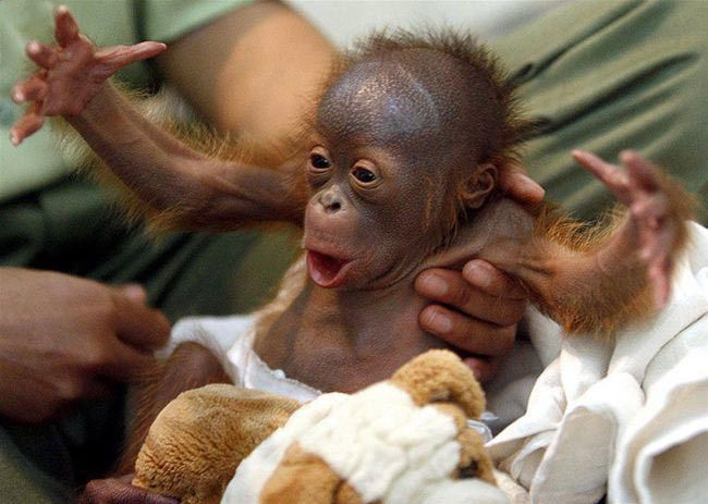 Orangutan: Baby Monkey, Cute Baby, Funny Pictures, The Faces, Funny Stuff, Baby Animal, Mr. Big, Funny Animal, Baby Orangutans