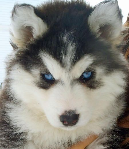 omg...to cute/beautiful...if i ever move to a colder climate i'm getting  a huskey!!!