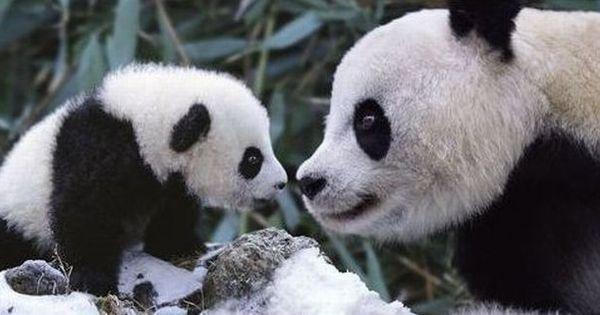 Cute Panda Family Enjoys the First