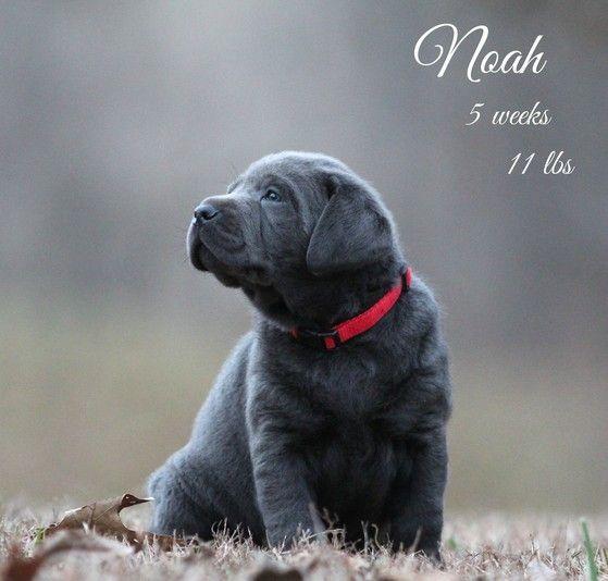 Silver Lab breeders, Labrador Retrievers, For sale, silver lab puppies, chocolate, Silver lab puppies Silver Labs N Stuff, Tennessee, Heathridge kennels