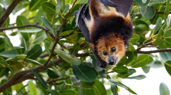 Une roussette noire (Pteropus Niger), espèce de chauve-souris endémique à l'île Maurice, suspendue à un arbre.