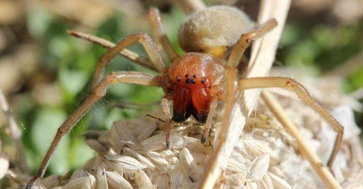 #L'araignée la plus dangereuse d'Europe aperçue aux portes de la Belgique: voici l'info qui va faire froid au dos des ... - La Meuse: La…