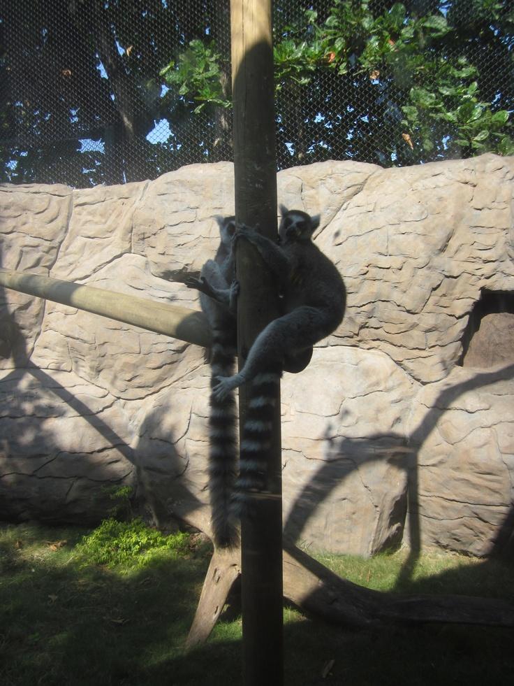 Amor lémur. Tomando el sol abrasador barranquillero.