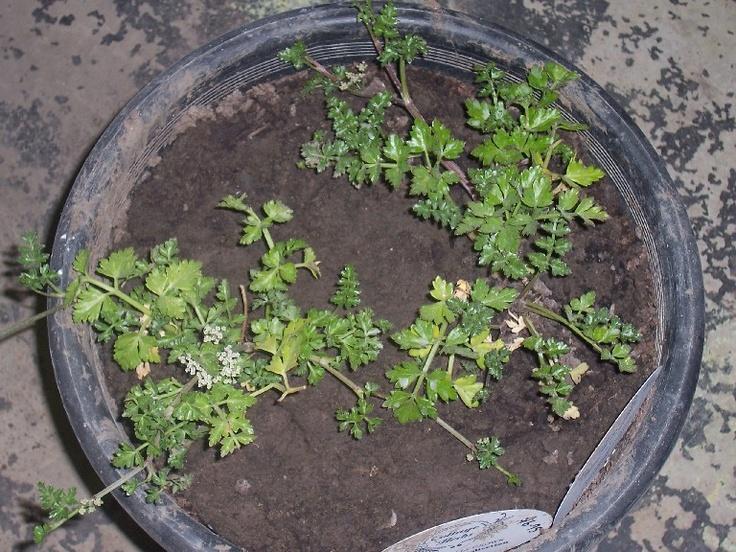apium prostratum (native parsley) 30cmx1m