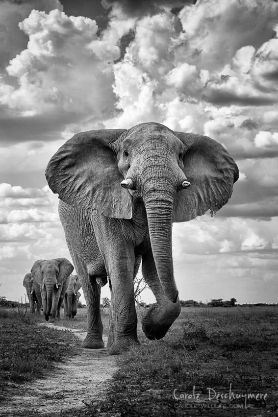 An epic shot of a bull elephant thundering through Nxai Pan National Park, Botswana with the rest of the herd in tow.