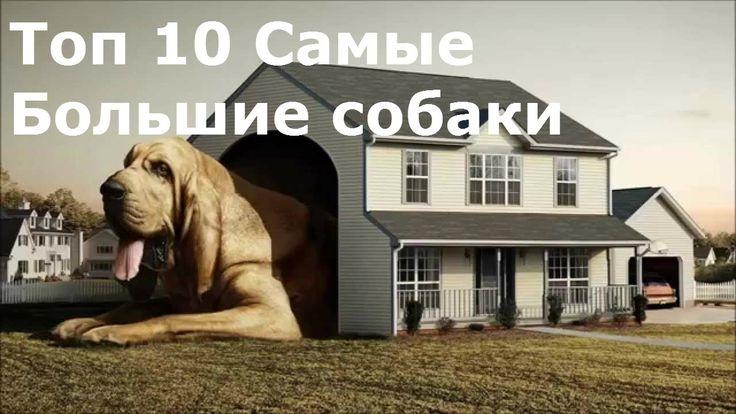 Топ 10 самые большие собаки в мире