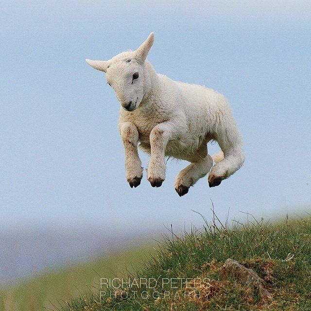 Follow Nature For More Leaping Lamb United Kingdom Photo By Richardpetersphoto Nature Cute Animals Animals Beautiful Funny Animals