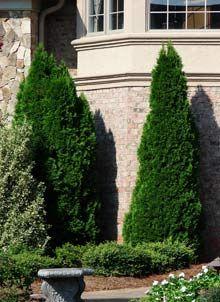 Emerald Green Thuja | Emerald Arborvitae Trees for Sale | Fast Growing Medium evergreen