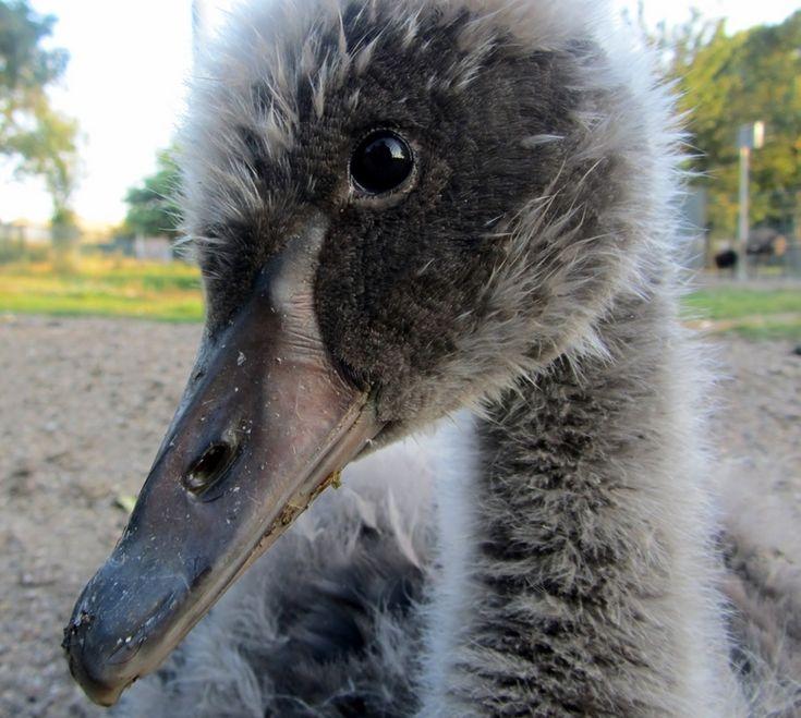 Zwarte zwaan kuiken van 4 weken oud