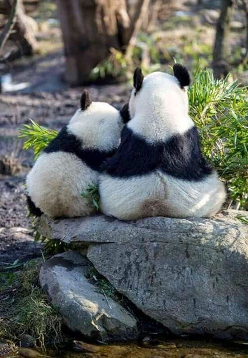 thelordismylightandmysalvation:  Panda Love                                                                                                                                                     More