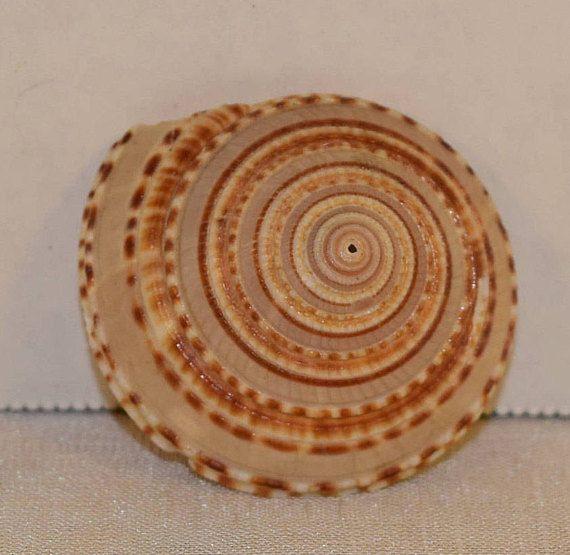 Sundial Seashell Magnet Vintage Beach Magnet Swirl Round Shell