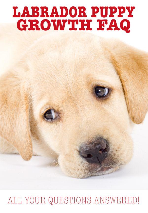 Labrador Retrievers Puppies Labradorsofig Labradors4life