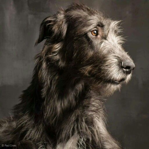 Irish Wolfhound                                                                                                                                                                                 More