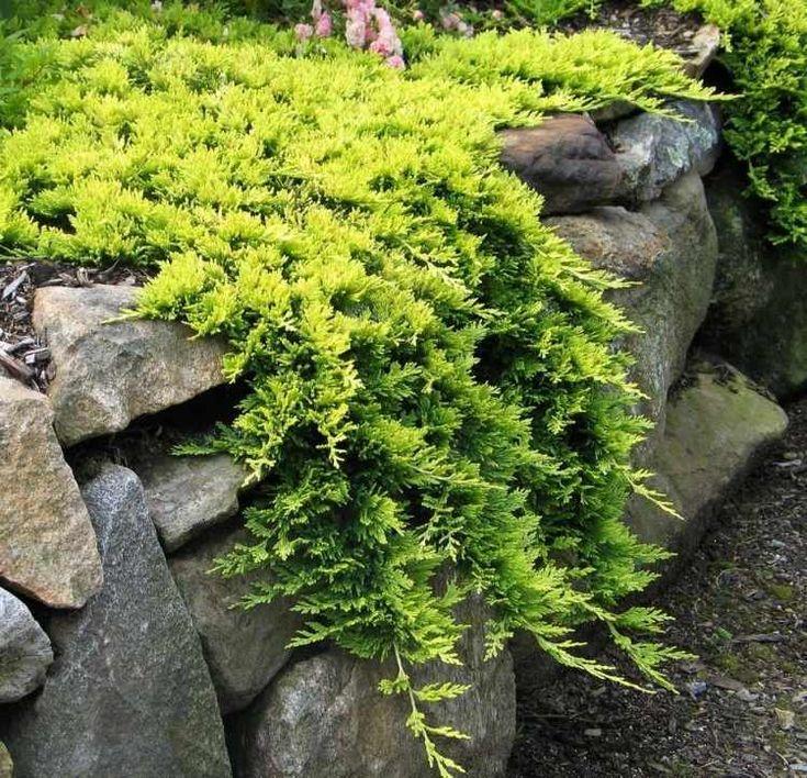 plantes couvre sol à feuillage persistant à entretien facile