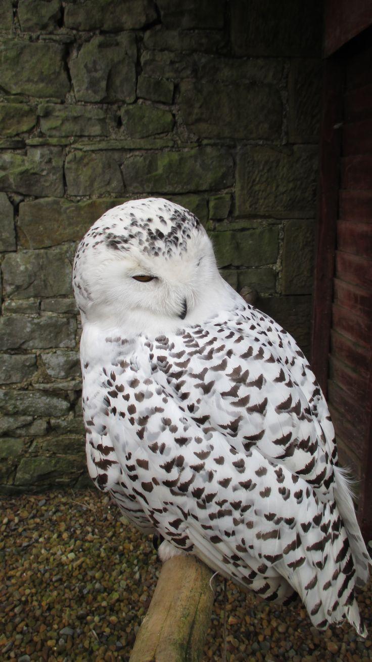 """Sneugle"" the Snowy Owl"