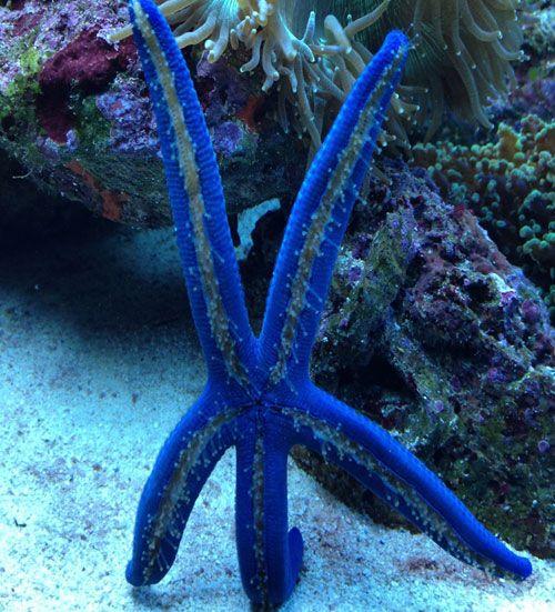 Blue Starfish (Linckia laevigata or just Patrick) / Nashville Aquarium