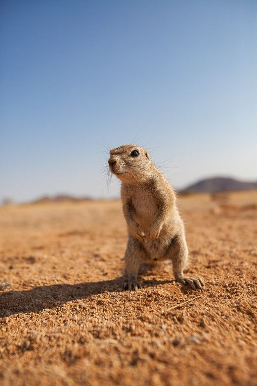 Ground Squirrel | by Manuel Graf with Pin-It-Button on 500px