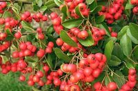 How to Make Hawthorne Berry Syrup (5 Steps)   eHow