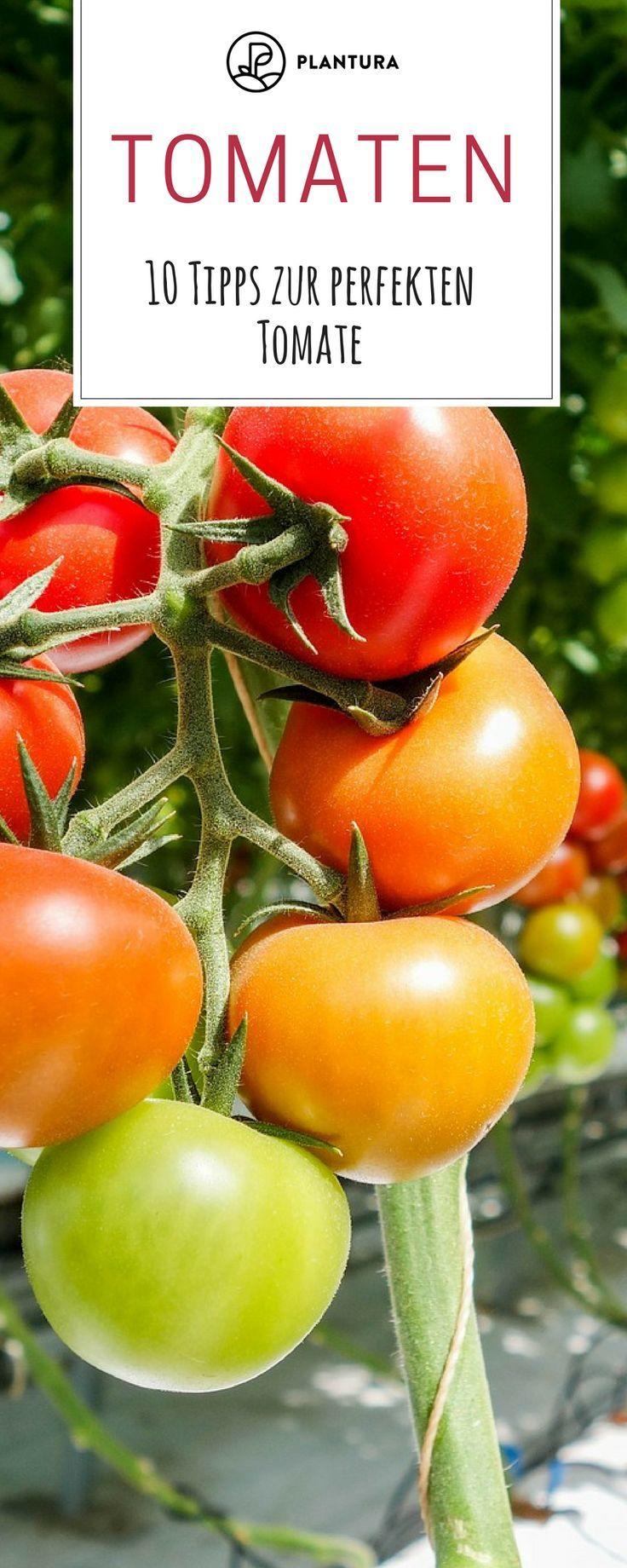 10 Tipps Zur Perfekten Tomate Aus Dem Eigenen Garten Tomaten Pflanzen Pflanzen Und Garten Pflanzen