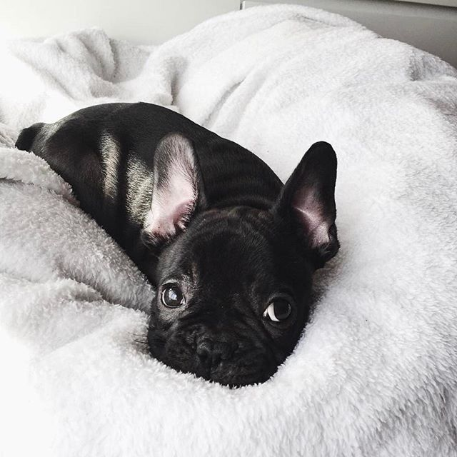 French Bulldog Puppy, what a Cuddle Bug