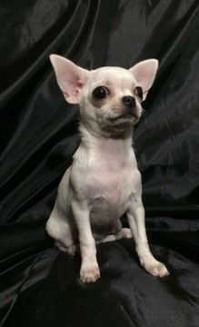 Chihuahua Puppy For Sale In Saint Petersburg Fl Adn 53977 On