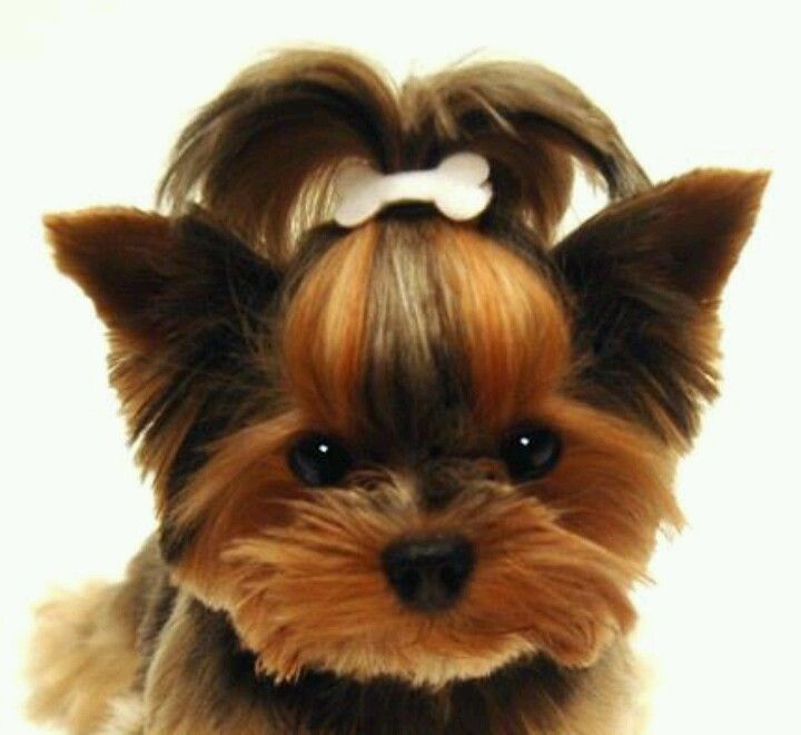 yorkie puppy hair 191 best images about yorkie haircut guide on pinterest 4226