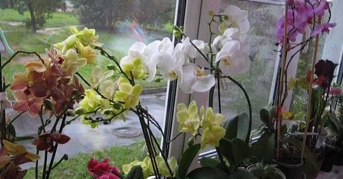 Rozmnozovanie orchidei