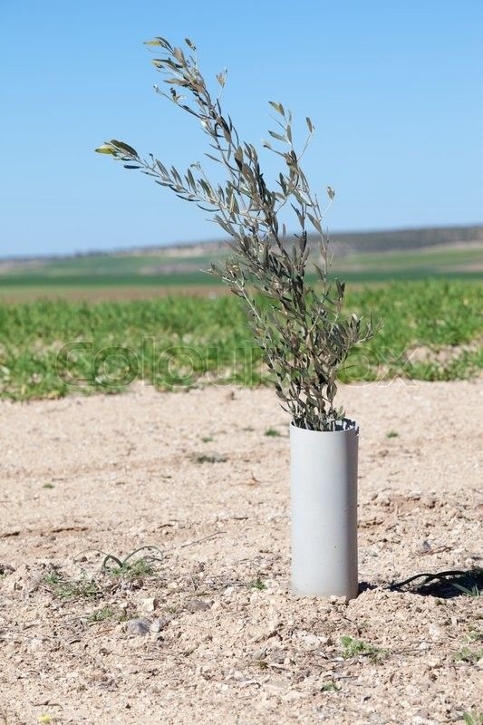 Stock image of 'Image of a little young olive tree plant protected by PVC pipe'