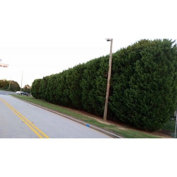50 Leyland Cypress liners, Natures Privacy Fence, Green, Tall and Beautiful…