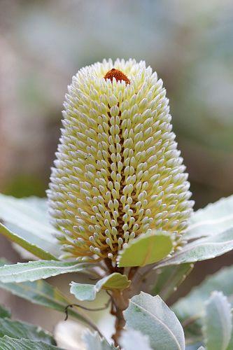 Banksia serrata, Wattamolla, Royal National Park.