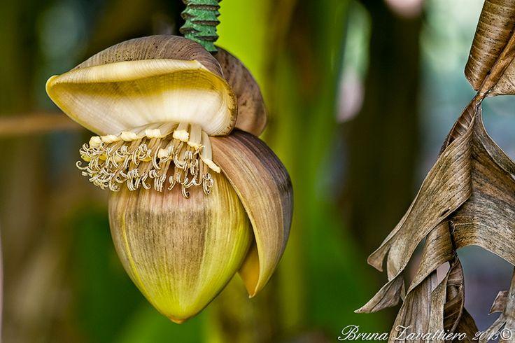 Fiore del banano!