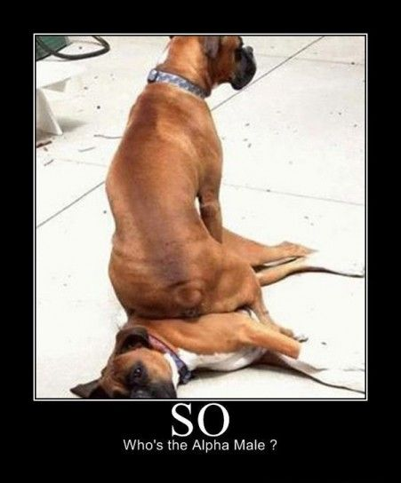 Demotivational Poster Cani Boxer