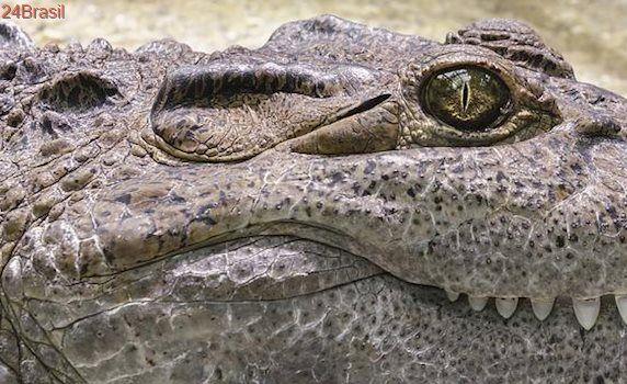 Nos EUA: Crocodilo leva peixe gigante para almoço no lago