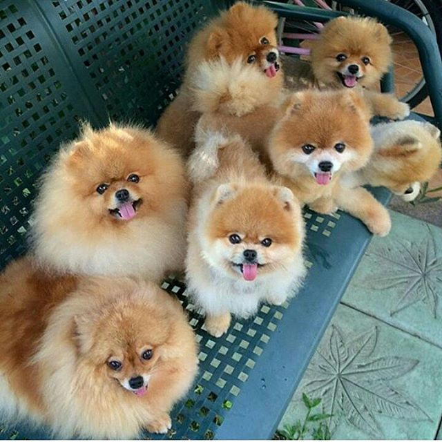 bear pomeranian puppies 1615 best all about dogs images on pinterest doggies 663