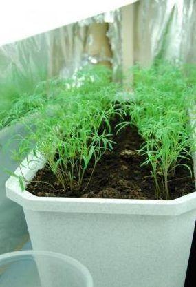 Правила выращивания укропа на подоконнике 0