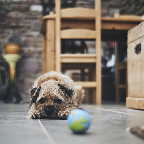Border Terrier: Should I get the ball, I'd like the ball, but what if someone else wants the ball, I better wait,( with my big sad eyes) just in case....